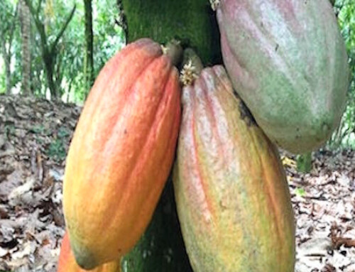 Sustainability Claims by Bean to Bar Chocolate Makers in Australia